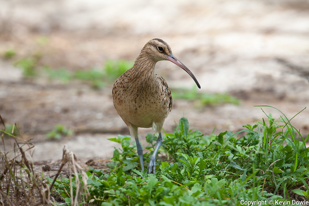 Bristle Thighed Curlew, Midway Atoll