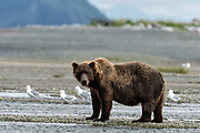 A large grizzly bear boar watches for chum salmon in the lower lagoon at the McNeil River State Game Sanctuary on the Kenai Peninsula, Alaska. The remote site is accessed only with a special permit and is the world's largest seasonal population of brown bears.