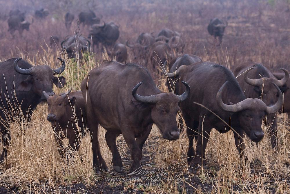 African Buffalo Herd, Kruger, Africa