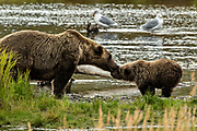 A sow Brown Bear shows affection with her cub at the lower Brooks River lagoon in Katmai National Park and Preserve September 16, 2019 near King Salmon, Alaska. The park spans the worlds largest salmon run with nearly 62 million salmon migrating through the streams which feeds some of the largest bears in the world.