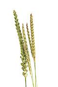 Wiesen-Kammgras (Cynosurus cristatus) | dog's-tail grass, crested dog's-tail