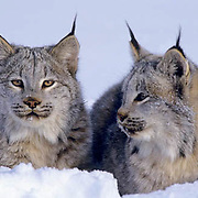 Canada Lynx, (Lynx canadensis) Montana. Portrait of pair in snow.Winter. Captive Animal.