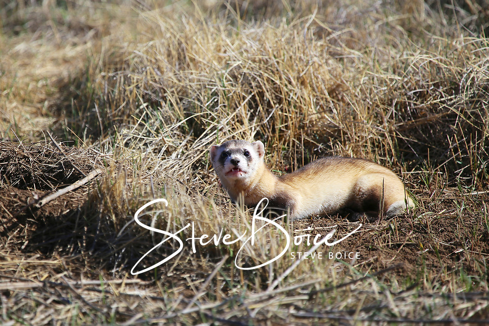 Black footed ferret at Rocky Mountain Arsenal National Wildlife Refuge