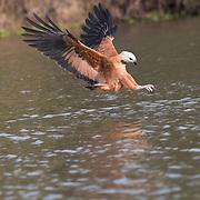 Black-collard Hawk
