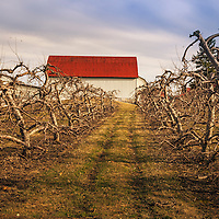 Apple orchard with red-roofed barn in early spring just before the apple trees have begun to bud.