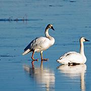 Trumpeter Swans, Bear Lake Utah