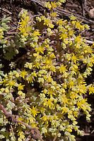 Yellow Stonecrop, Burnet County, Texas
