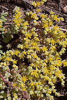 Yellow Stonecrop, Burnet County, Texas