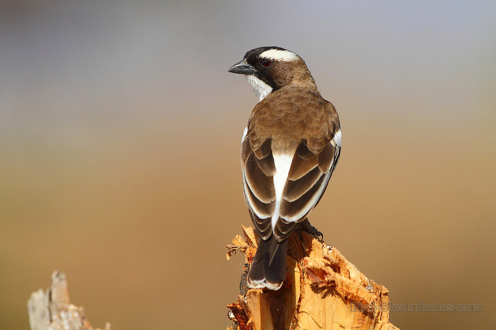 White-browed Sparrow-Weaver, Plocepasser mahali, Ethiopia, by Markus Lilje