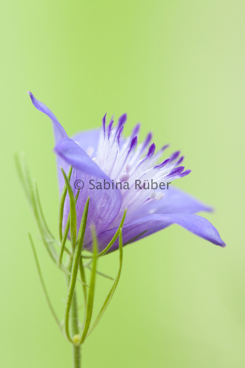 Nigella bucharica 'Blue Star' - Persian love-in-a-mist