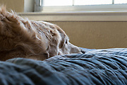 Dog (golden retriever) lying on a bed