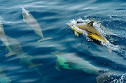 Common Dolphin (Delphinus delphis), Channel Islands National Park, California USA