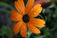 Orange flower with raindrops