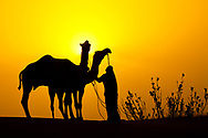 Camels and Man at Sunset, Rajasthan India