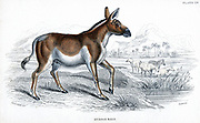 Quagga (Equus quagga): Extinct South African mammal of the horse family. Hand-coloured engraving published London c1830 after drawing by Lt.-Col. Charles Hamilton Smith .