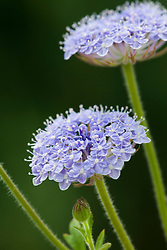 Didiscus 'Blue Lace' syn. Trachymene 'Blue Lace'
