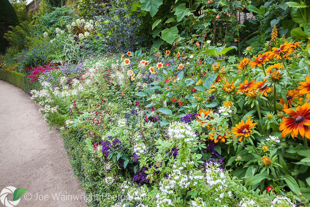 A rich display of herbaceous perennials, including rudbeckias, penstemons and dahlias at Powis Castle, Welshpool, photographed in August.