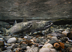 Male chum salmon (Oncorhynchus keta) make their way up the special spawning channel of Herman Creek to spawn with female chum salmon during the fall chum salmon run. The nonprofit Northern Southeast Regional Aquaculture Association, Inc. (NSRAA) built the channel to collect wild broodstock by harvesting spawning female and male salmon for their eggs and milt. <br /> <br /> These chum salmon are returning to freshwater Herman Creek near Haines, Alaska after three to five years in the saltwater ocean. Spawning only once, chum salmon die approximately two weeks after they spawn. Both sexes of adult chum salmon change colors and appearance upon returning to freshwater. Unlike male sockeye salmon which turn bright red for spawning, male chum salmon change color to an olive green with purple and green vertical stripes. These vertical stripes are not as noticeable in females, who also have a dark horizontal band. Both male and female chum salmon develop hooked snout (type) and large canine teeth. These features in female salmon are less pronounced. <br /> <br /> Herman Creek is a tributary of the Klehini River and is only 10 miles downstream of the area currently being explored as a potential site of a copper and zinc mine. The exploration is being conducted by Constantine Metal Resources Ltd. of Vancouver, British Columbia along with investment partner Dowa Metals &amp; Mining Co., Ltd. of Japan. Some local residents and environmental groups are concerned that a mine might threaten the area&rsquo;s salmon. Of particular concern is copper and other heavy metals, found in mine waste, leaching into the Klehini River and the Chilkat River further downstream. Copper and heavy metals are toxic to salmon and bald eagles.<br /> <br /> Chilkat River and Klehini River chum salmon are the primary food source for one of the largest gatherings of bald eagles in the world. Each fall, bald eagles congregate in the Alaska Chilkat Bald Eagle Preserve, located only three miles downriver from the area of current exploration.