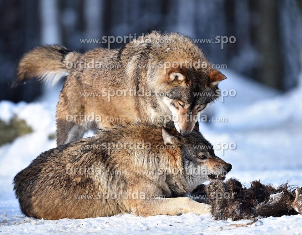 28.12.2014, Wildtierpark, Bad Mergentheim, GER, W&ouml;lfe im Wildtierpark Bad Mergentheim, im Bild 2 Woelfe fressen am Kadaver eines Wildschweins, Timberwolf, Kanadischer Wolf (Canis lupus occidentalis) im Schnee, captive // Wolves in the Wildtierpark in Bad Mergentheim, Germany on 2014/12/28. EXPA Pictures &copy; 2015, PhotoCredit: EXPA/ Eibner-Pressefoto/ Weber<br /> <br /> *****ATTENTION - OUT of GER*****