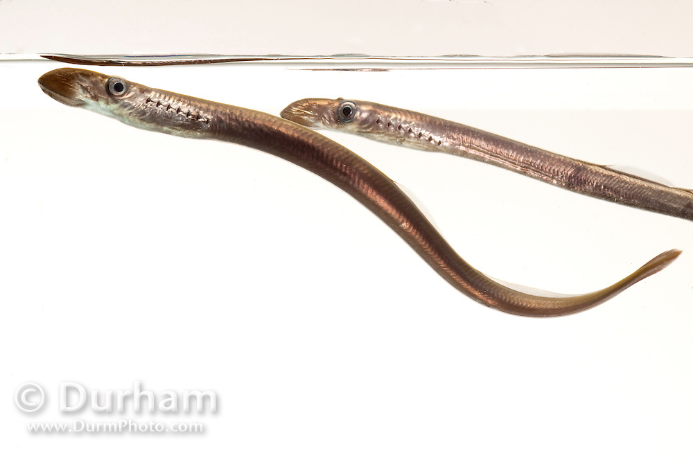 A pair of juvenile Pacific Lamprey (Lampetra tridentata). These fish have an ancient lineage, appearing in the fossil record nearly 450 million years ago – well before the age of the dinosaurs. Pacific lamprey are an important ceremonial food for Native American tribes in the Columbia River basin. Little is known about the life history or habits of this fish except that their numbers in the Columbia River have greatly declined over several decades. Photographed at the USGS Columbia River Research Lab in Willard, Washington.