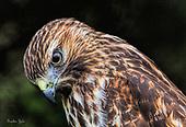 Hawks Kites and Eagles
