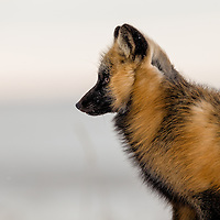 Fox Full