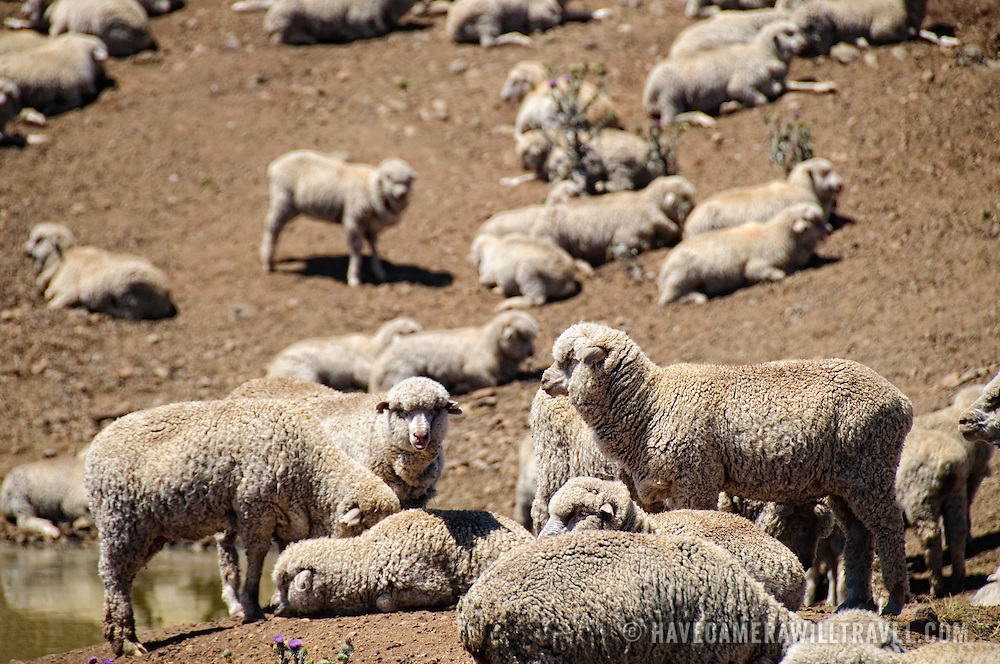 A flock of sheep gathered around a watering hold on a drought-ravaged farm in rural New South Wales, Australia