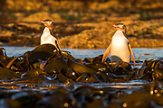 Golden hour illuminates the coastal petrified forest at Curio Bay, as a group of endangered yellow-eyed penguins bask in the sun before heading out to the ocean for food.