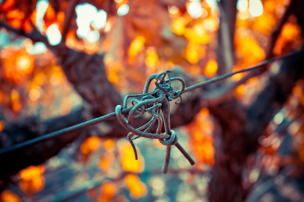 Tendrils left on the wire after the 2013 grape harvest.
