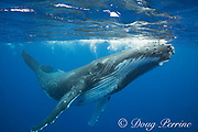 humpback whale, Megaptera novaeangliae, and snorkelers, Vava'u, Kingdom of Tonga, South Pacific (dm)