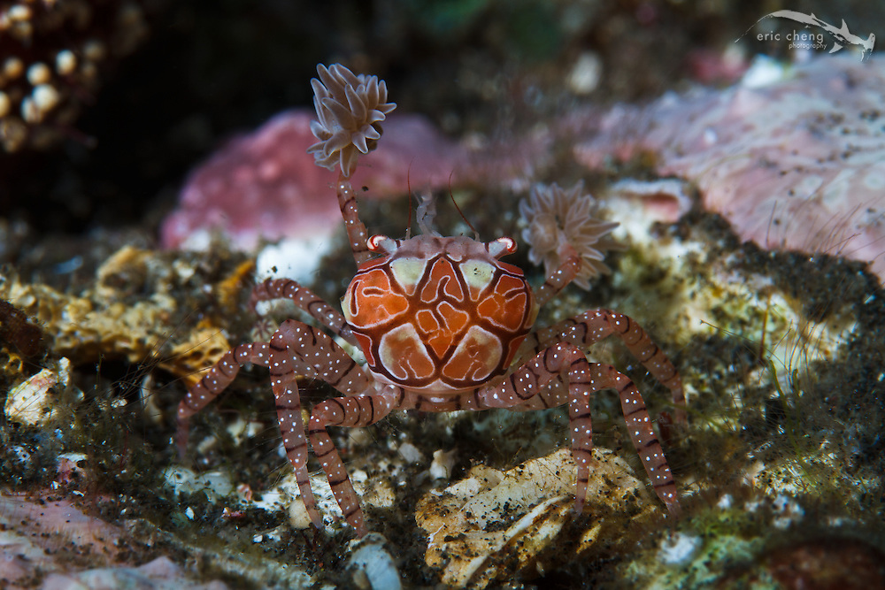 A boxer crab (Lybia tesselata) shows off its anemone boxing gloves. Sangeang, Indonesia.