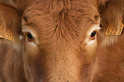 close up of a young brown brown European cow