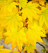 The fine detail of the veins through the yellow leaves and the pattern created by this set of leaves is intriguing to study.