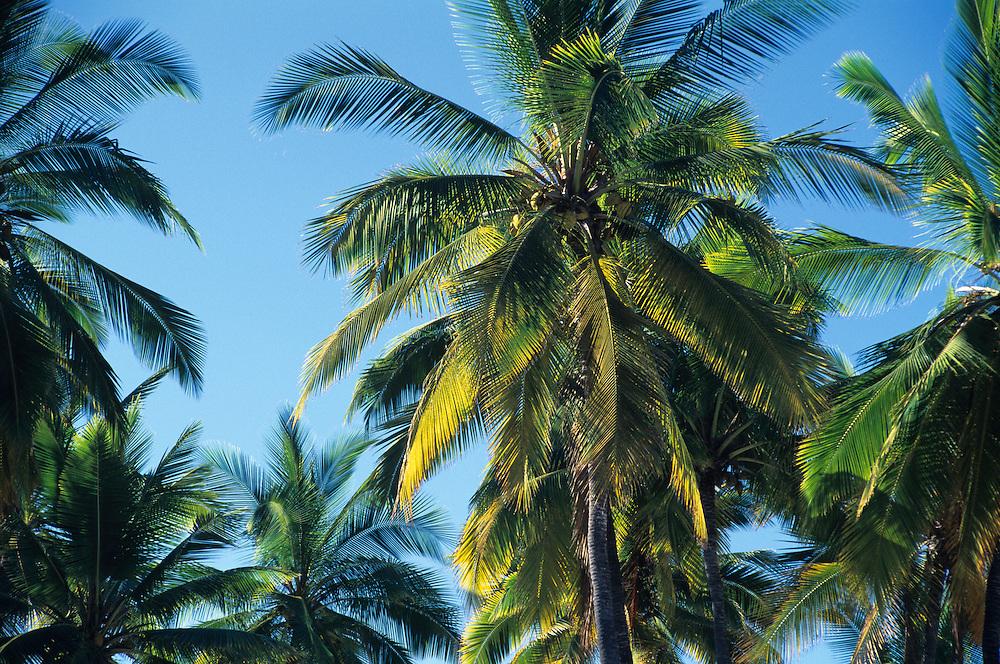 [palm frond] [palm tree] coconut [Pu`uhonua O Honaunau]