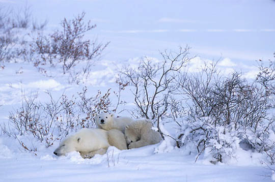 Polar Bear, (Ursus maritimus) Mother and cubs resting in day bed. Churchill, Manitoba. Canada.