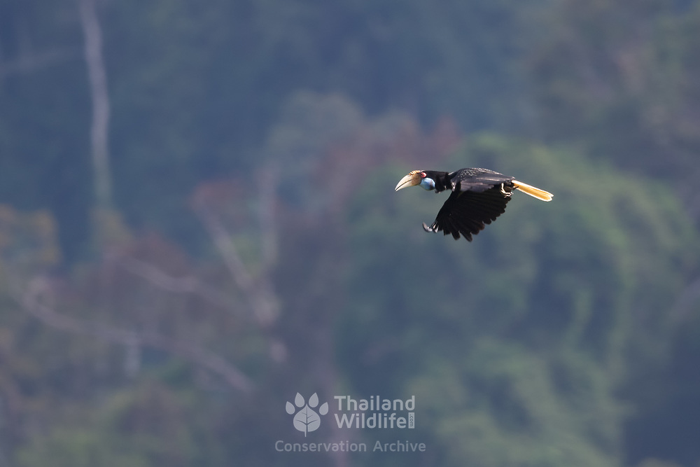Female Wreathed hornbill shown flying. The wreathed hornbill (Rhyticeros undulatus), also known as the bar-pouched wreathed hornbill, is a species of hornbill found in forests of Thailand as well as surrounding countries.