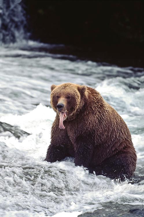 Alaskan brown bear in Katmai National Park