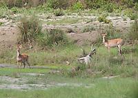 Swamp Deer, Rucervus duvaucelii, Bardiya National Park, Nepal