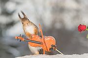 "EXCLUSIVE<br /> Photographer Pictures Squirrels With Tiny Musical Instruments Through Kitchen Window<br /> <br /> Some years ago, squirrels started to come to photographer Geert Weggen's  garden, He decided to build an outside studio from a balcony and started to shoot photos his kitchen window, Some days upto 6 squirrels visit Geert daily.<br /> <br /> This year Geert worked on an idea for a children's book, ""Squirrel Teaching You The Alphabet"", and was confronted with some letters like an object starting with an ""X"". That became a squirrel photo with a xylophone. From there Geert started doing a series of squirrel photos with music instruments. ""It took months to get some music instruments with the right size. I try to bring some magic, wonder and happiness with my work"", these are real photos. Sometimes I take away a wire or some food.<br /> <br /> Photo Shows: THE STAR....red squirrel in snow with  rose and violin<br /> ©Geert Weggen/Exclusivepix Media"