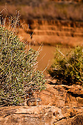 A cliff chipmunk along the Colorado river at the base of the Bridge Canyon along the west rim of the Grand Canyon National Park inside the Hualapai Indian Reservation, Arizona, USA