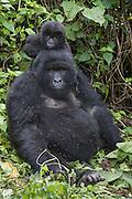 Mountain Gorilla<br /> Gorilla gorilla beringei<br /> 1 year old baby climbing on mother's head<br /> Parc National des Volcans, Rwanda<br /> *Endangered species