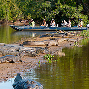 Caymans along the Pixaim River, Pantanal, Brazil