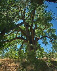 A large cottonwood with an almost bush like structure of thick branches.