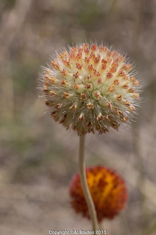 Fragrant Gaillardia, (Gaillardia suavis) Big Bend National Park, Texas