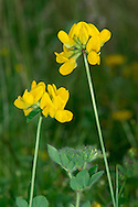 GREATER BIRD'S-FOOT-TREFOIL Lotus pedunculatus (Fabaceae) Height to 50cm. Hairy, hollow-stemmed perennial found in damp grassy places and fens. FLOWERS are 15mm long and yellow; in heads on stalks up to 15cm long (Jun-Aug). FRUITS are slender pods; splayed like a bird's foot when ripe. LEAVES have 5 dark green leaflets but appear trifoliate (lower pair sited at stalk base). STATUS-Locally common.