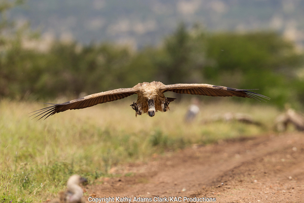 White-backed vulture, Gyps africanus, flying in to feeding on a dead wildebeest, in Serengeti, Tanzania, Africa.