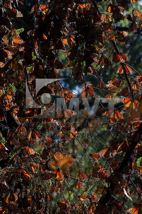 """Temascaltepec, Méx.- Mariposas Monarca """"Danaus Plexippus"""" hibernan en los bosques de oyamel del santuario Piedra Herrada, a 120 kms al poniente de la ciudad de Mexico; la mariposa viaja mas de 5 mil kilometros desde la region de los grandes lagos en Canada y arriban cada noviembre, en su ciclo migratorio, mas de 300 millones de insectos a la biosfera de conservacion en los limites del Estado de Mexico y Michoacan donde permanecen hasta finales del mes de Marzo. Agencia MVT / Mario Vazquez de la Torre."""