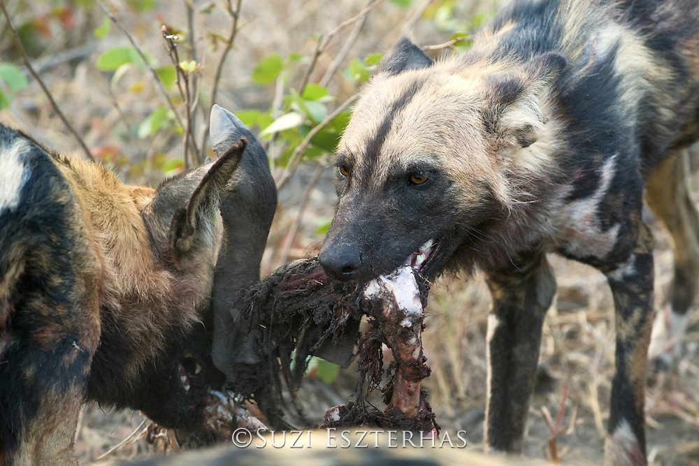 African Wild Dog<br /> Lycaon pictus<br /> Eating warthog<br /> Northern Botswana, Africa<br /> *Endangered species