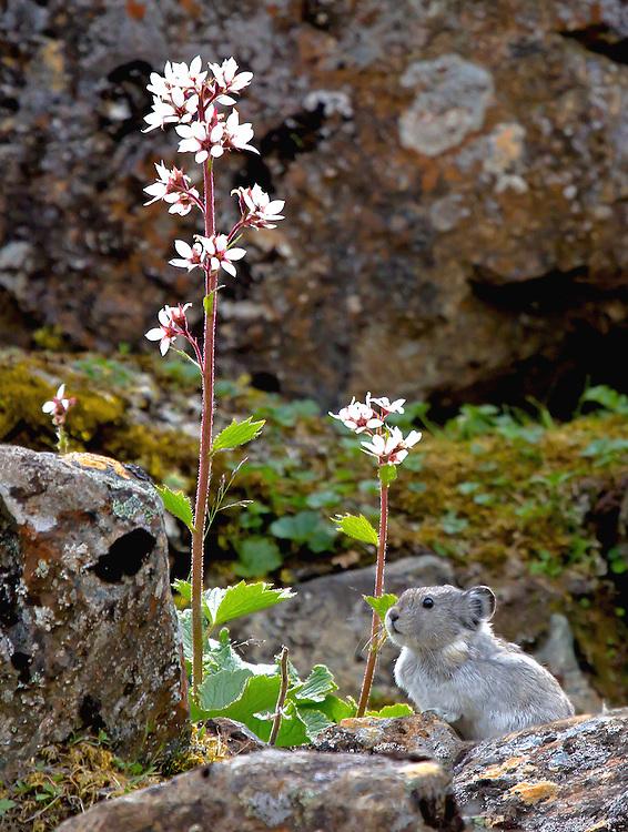 Alaska; Collared Pika (Ochotona collaris) looking at Bear Flowers or Alaska Boykinia (Boykinia richardsonii) in a rocky outcrop on Stoney Hill, Denali National Park.