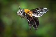 A female anthophorine bee (probably Anthophorine anthophora), photographed with a high-speed camera in Matobo National Park, Zimbabwe. © Michael Durham / www.DurmPhoto.com.